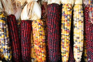Variegated maize ears