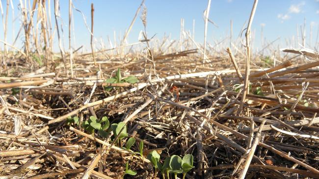 Cover crop in South Dakota