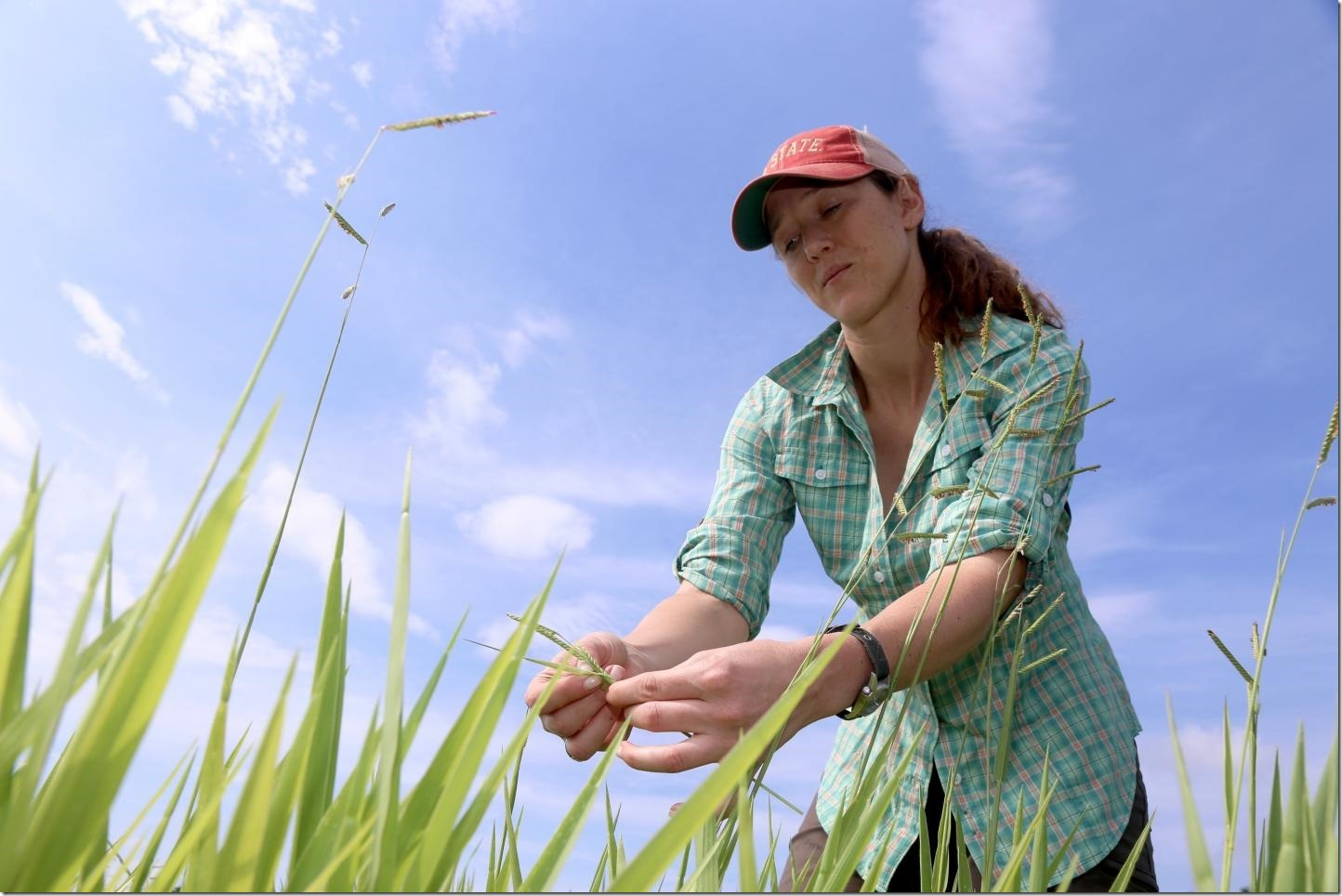 Study author Margaret Worthington examines Brachiaria grasses in an experimental field at the International Center for Tropical Agriculture near Cali, Colombia. Credit Paul Blake / International Center for Tropical Agriculture