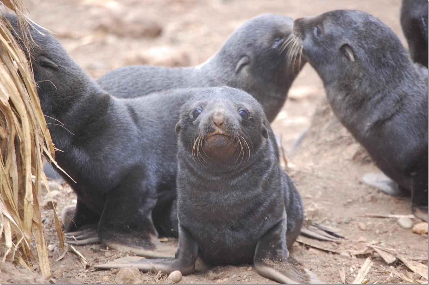IMAGE: On Chile's Guafo Island, all South American fur seal pups show some degree of hookworm infection. Credit: Dr. Mauricio Seguel, University of Georgia
