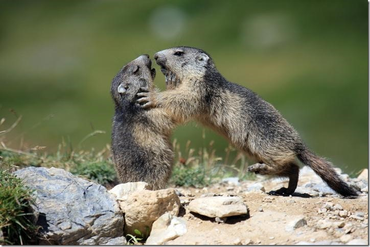 IMAGE: Playing marmots. Credit: Carole and Denis Favre-Bonvin