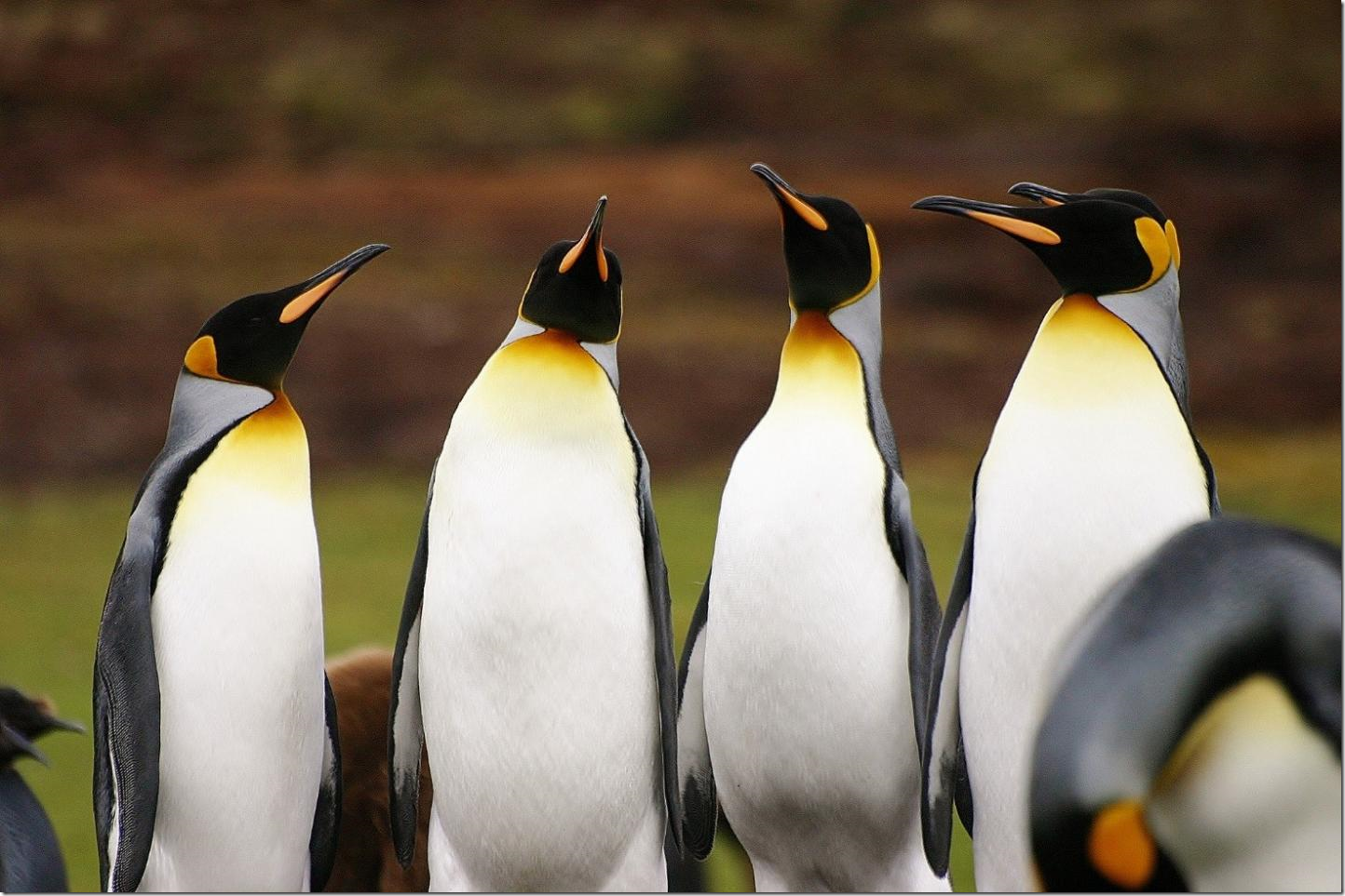 IMAGE: King penguins (Aptenodytes patagonicus) at Volunteer Point, East Falkland, the largest breeding site for the species and one of the most important tourists' destinations in the archipelago. Credit: Anna Hausmann