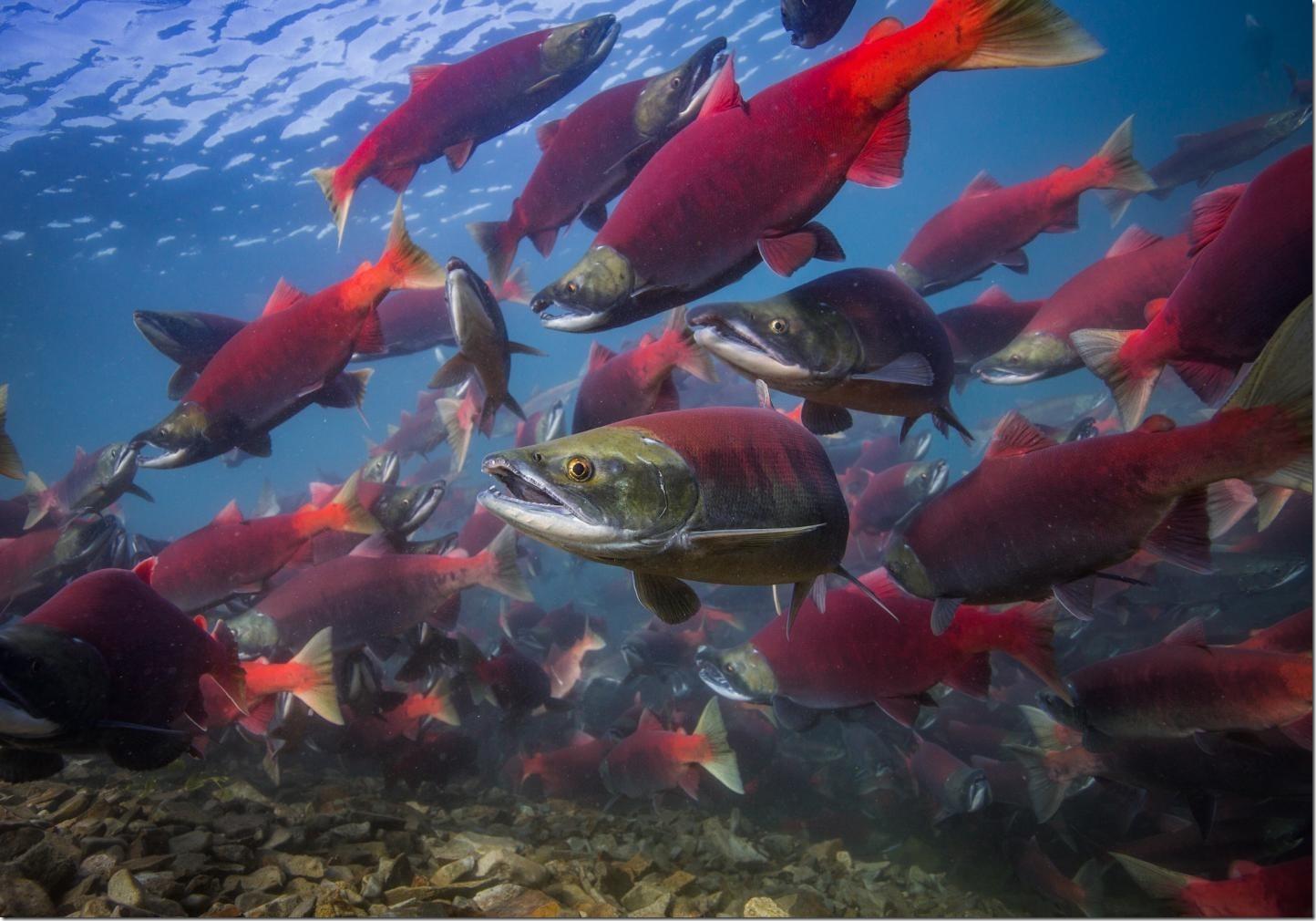 Adult sockeye salmon returning to spawn in the lakes of Bristol Bay, Alaska. Credit: Jason Ching/University of Washington