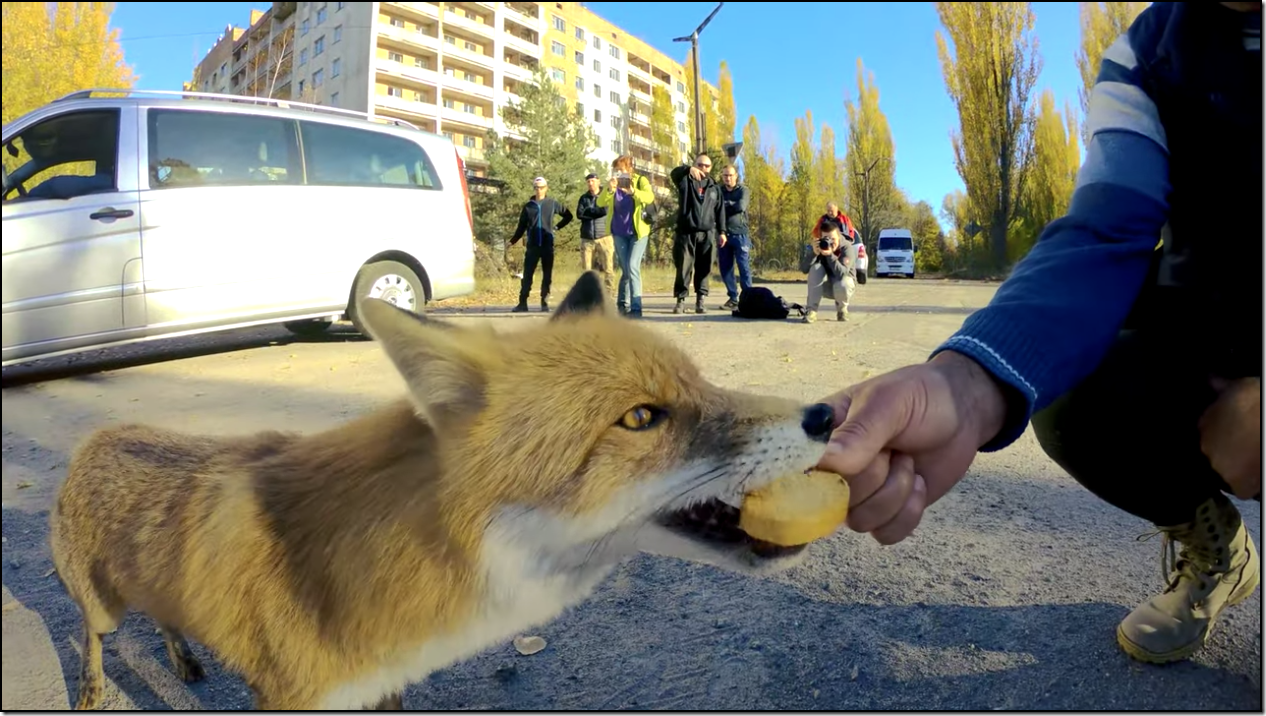 Since being abandoned by humans, the towns of Chernobyl have become host to wildlife like this fox. (YouTube/ Chernobyl Zone – Radioactive Team)