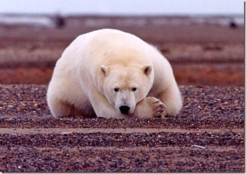 polar_bear_resting_but_alert_original-usfws