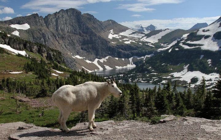 Mountain Goat at Hidden Lake near Logan Pass in Glacier National Park