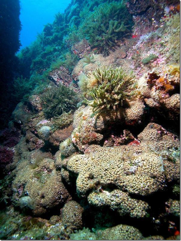 According to the authors, some coral colonies that were considered lost years ago show some living parts. Credit: Diego Kersting