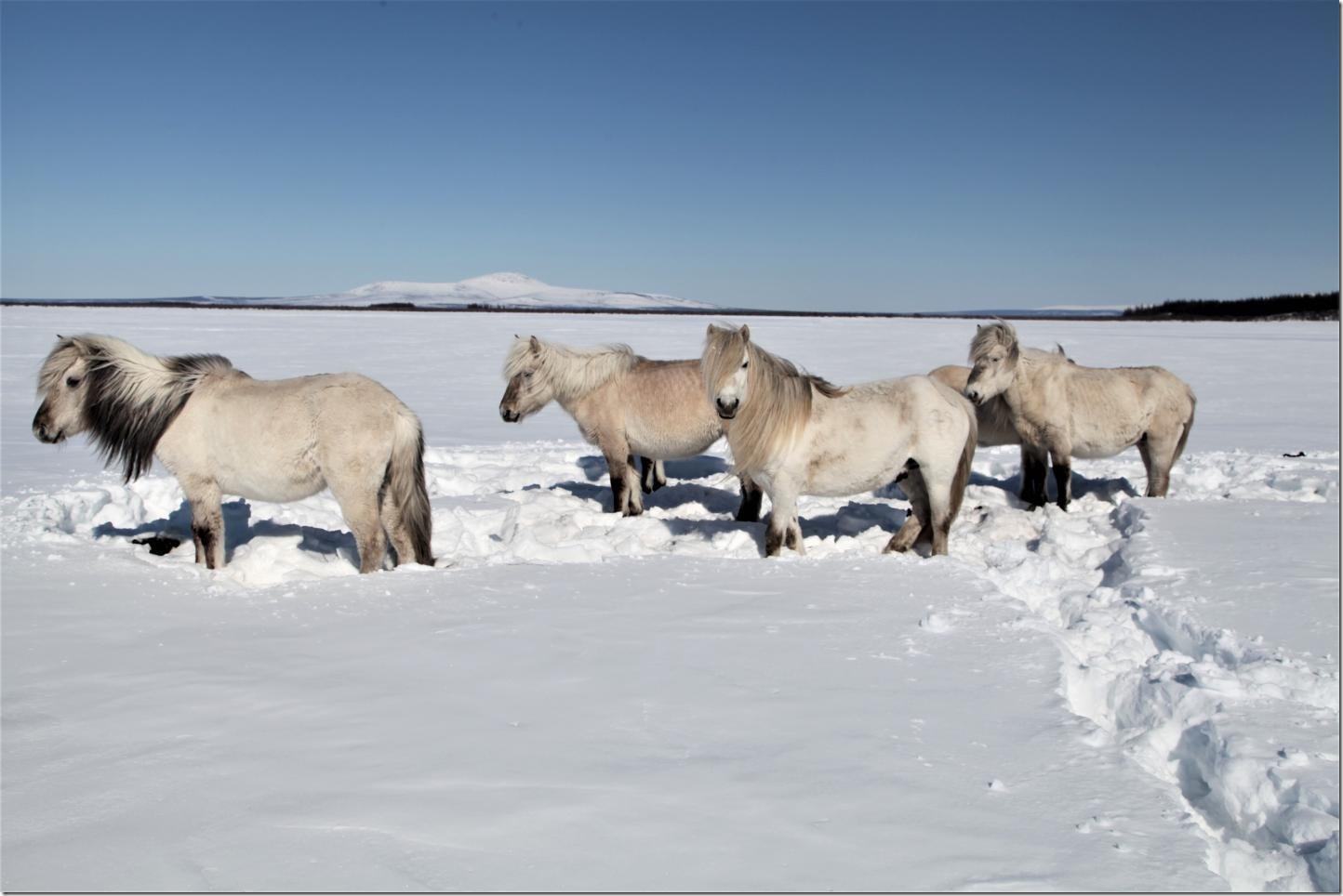 Herds of herbivores preserve the permafrost -- even under strong global warming. Credit: Pleistocene Park