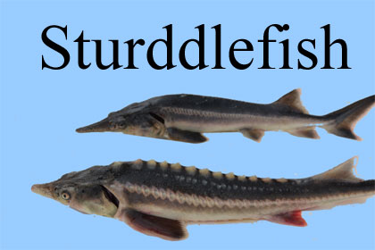 featured_image_sturddlefish